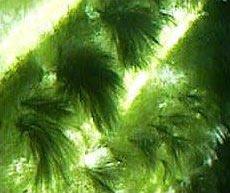 alghe infestanti nell'acquario