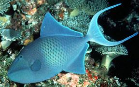 pesci balestra Odonus