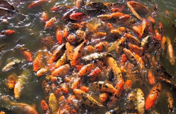 Riproduzione del pesce rosso