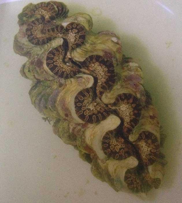 Tridacne in acquario