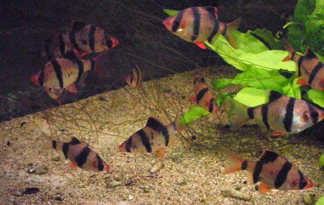 acquario Systomus anchisporus