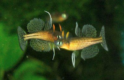 Riproduzione Pseudomugil gertrudae