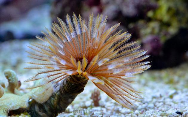 Spirografi in acquario Sabellastarte