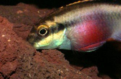Pelvicachromis pulcher foto