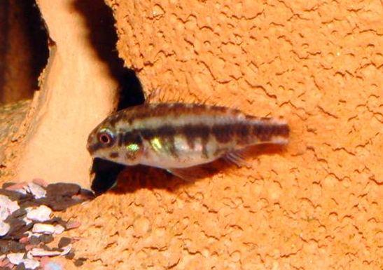 Il Pelvicachromis Pulcher