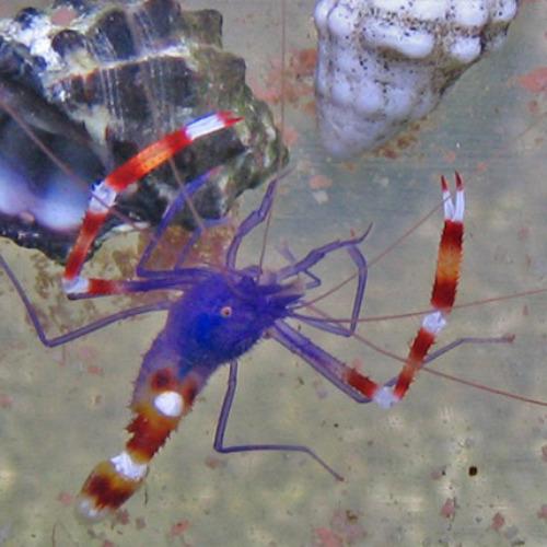 Nano-shrimps Stenopus