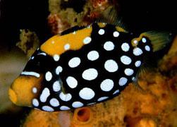 pesci balestra Conspicillum