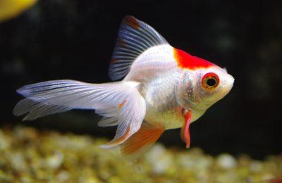nutrire il pesce rosso