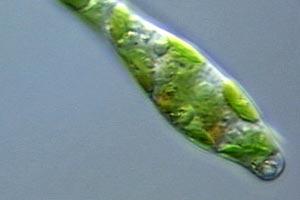 alghe e infusori