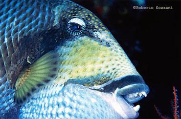 pesci balestra viridescens