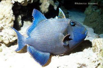 pesci balestra fuscus
