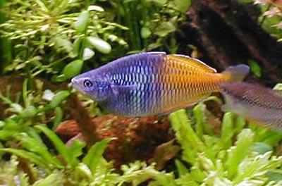 Rainbowfish o Pesci arcobaleno