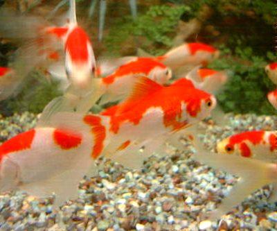 Variet di pesce rosso acquaportal for Quanto vive un pesce rosso