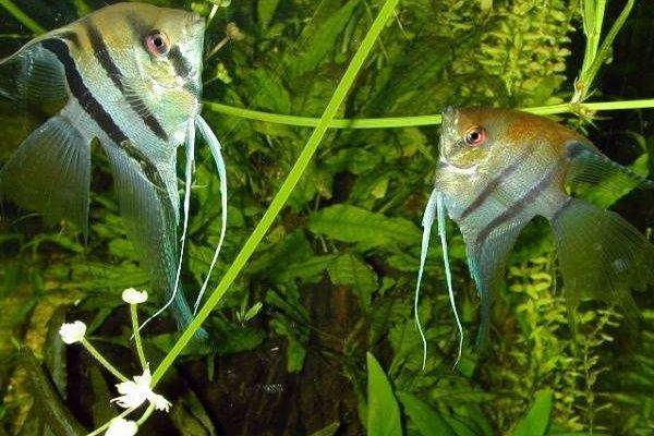 Pterophyllum Scalare Riproduzione