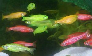 pesci colorati artificialmente