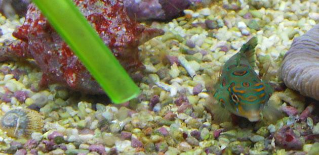 Femmina di Synchiropus intenta a mangiare del granulare