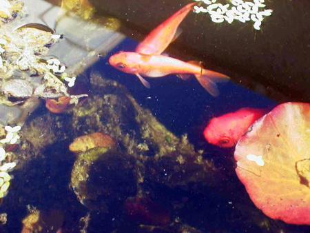 riproduzione alternativa dei pesci rossi