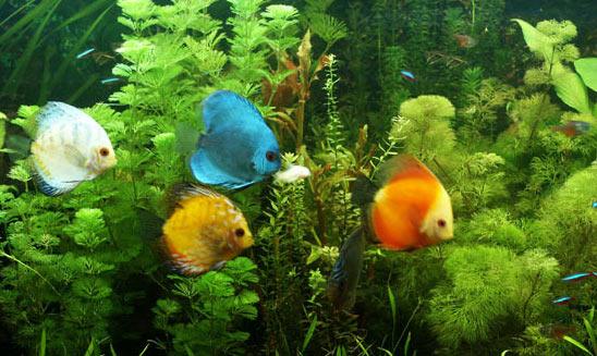 L acquario per i discus tutto sui discus acquario per i discus