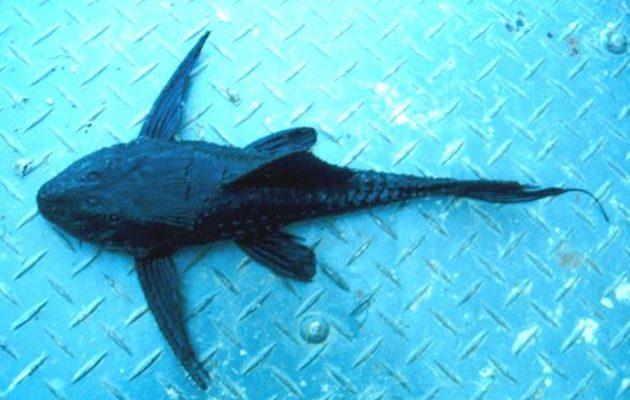 loricaridi habitat Amazzonia descrizione