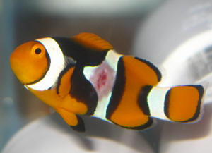 Malattie dei pesci marini