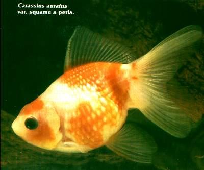 Carassius auratus piccolo principe