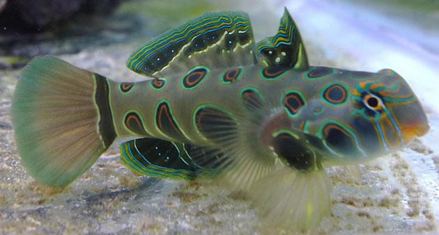 Synchiropus Picturatus maschio