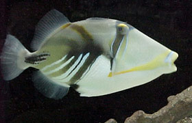 pesci balestra Aculeatus
