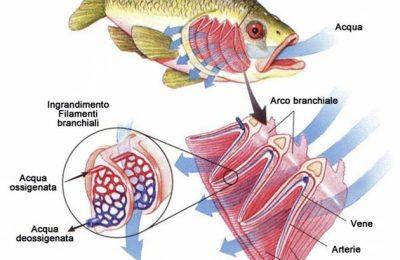 Anatomia di un pesce
