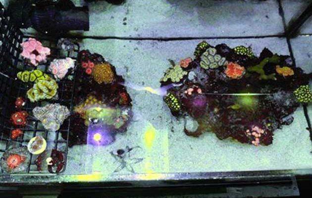 Taleario per coralli