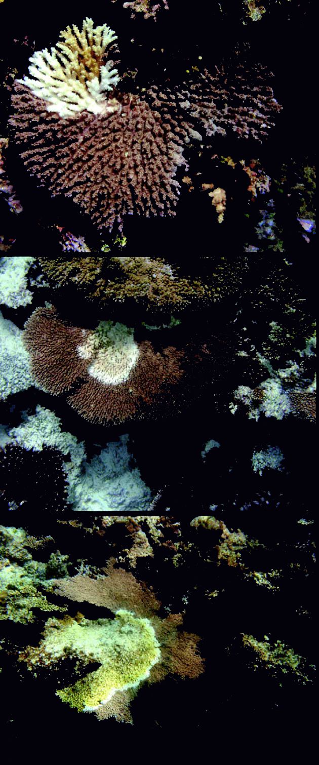 Acropora white syndrome