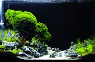Bonsai in Acquario