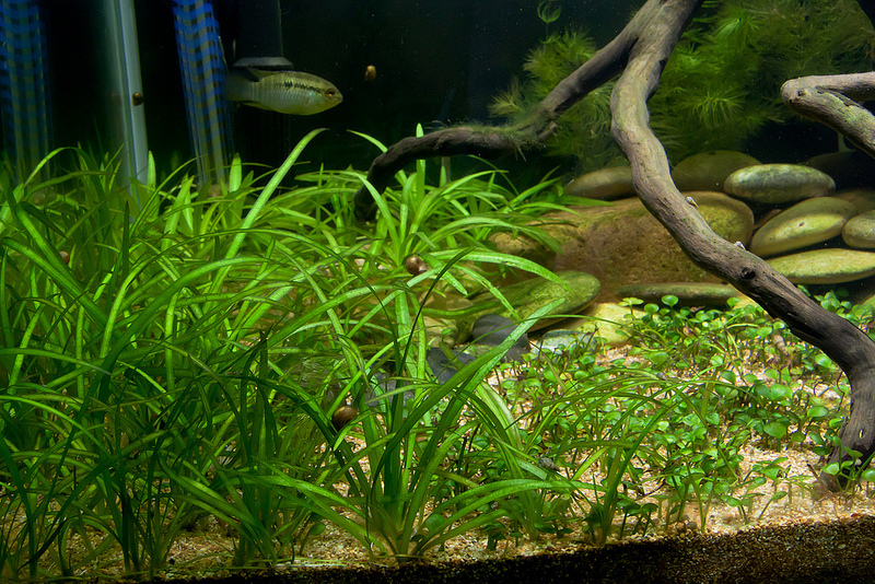 Echinodorus quadricostatusbyEntropy