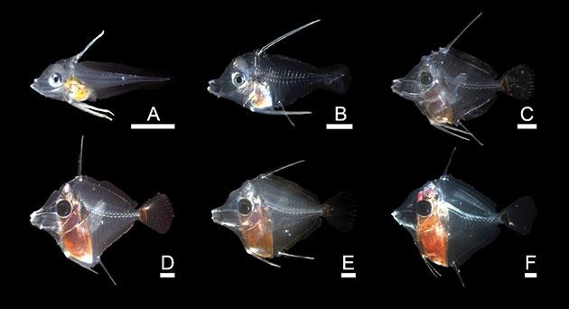 riproduzione zebrasoma flavescens