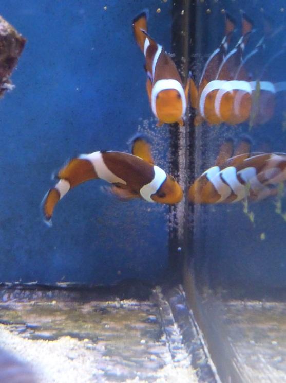 riproduzione pesci pagliaccio