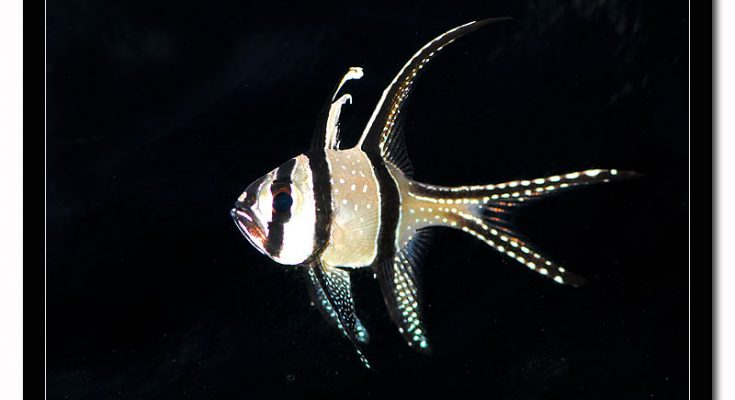 pesci cardinale di Banggai