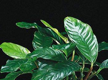 Anubias barteri var.  'coffeefolia'