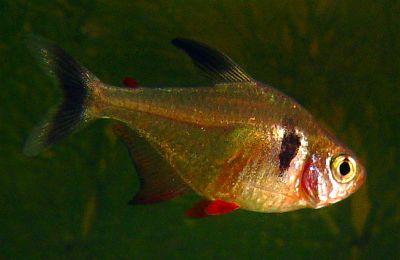 Megalamphodus megalopterus
