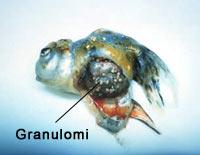 granulomi pesci