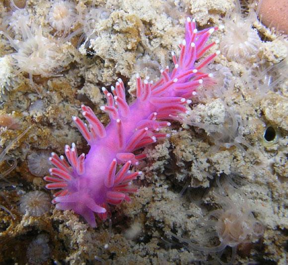 Nudibranco marino n.c.