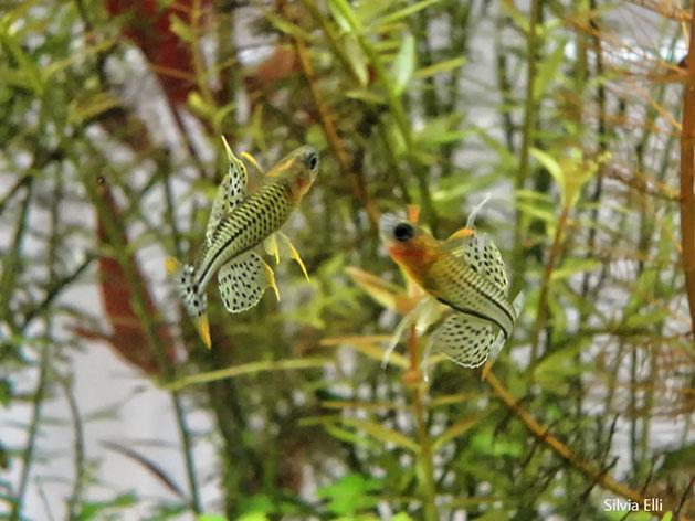 Pesce dolce Pseudomugil gertrudae
