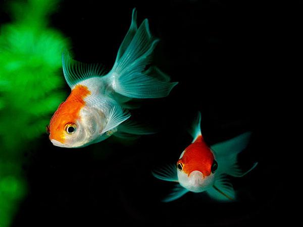 Pesci rossi specie allevamento riproduzione acquaportal for Pesci rossi quanto vivono