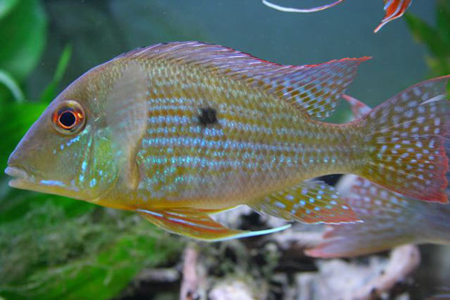 Pesce dolce Geophagus spec. Aeroes
