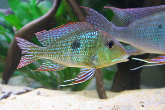 Pesce dolce Femmina di Geophagus spec. Rio Tapajos