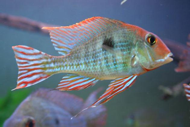 Pesce dolce Geophagus spec. Aeroes Wild maschio