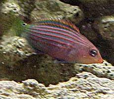 Pesci acquario marino Hexataenia