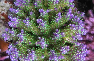 FAQ invertebrati marini Acropora