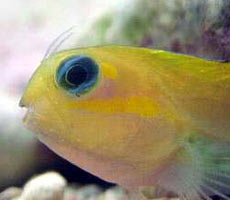 Pesci acquario marino Ecsenius