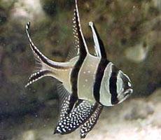 Pesci acquario marino Kauderni