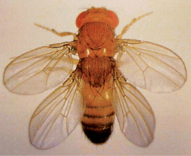 moscerino dell'aceto (Drosophila melanogaster)