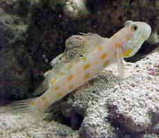 Pesci acquario marino Bavosa